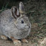 ארנב ננסי