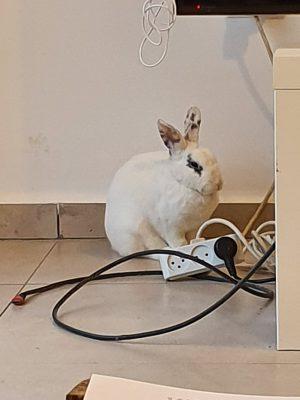 גידול ארנב בבית - ארנב עם כבלים