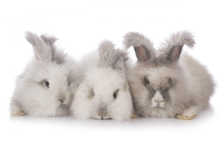ארנב אנגורה – האם יש ארנבי אנגורה בארץ?