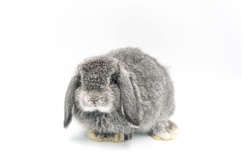 ארנב שמוט אוזניים הולנדי – הולנד לופ