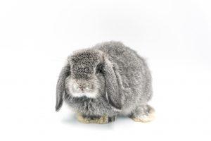 ארנב שמוט אוזניים הולנדי